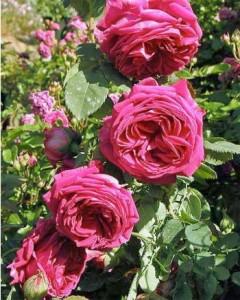 Rosier au parfum puissant greffé sur Rosa canina